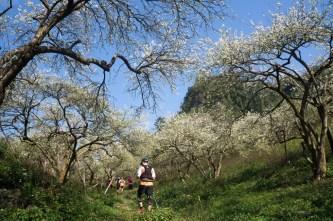 """Mê mẩn vườn xoài trái """"khổng lồ"""" như đào tiên ở vùng biên Bình Phước"""